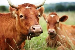 В Прикамье арестованные приставами коровы не дожили до «свободы»