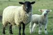 В Китае растет спрос на «мясных» овец