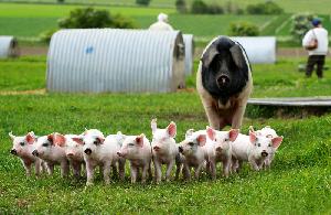 Пермский свинокомплекс находится в критическом финансовом положении
