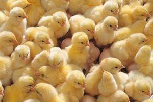В Тюмень завезли цыплят из Великобритании