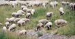 Правительство Северной Осетии разработало республиканскую программу поддержки овцеводства
