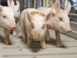 Genesus нацелена на 20% украинского рынка племенного свиноводства