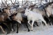 Эксперт: потенциал оленеводства в Якутии используется только на 42%