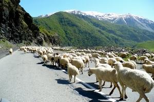 В Дагестане начинается перегон овец на летние пастбища