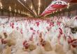 Правительство направит на поддержку птицеводов миллиард рублей