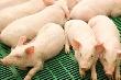 «Разгуляй» построит свинокомплексы в Башкортостане