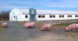«Кашарский бекон» построит свиноводческий комплекс в Ростовской области