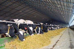 Две животноводческие фермы на 10 тыс. голов появятся на Сахалине