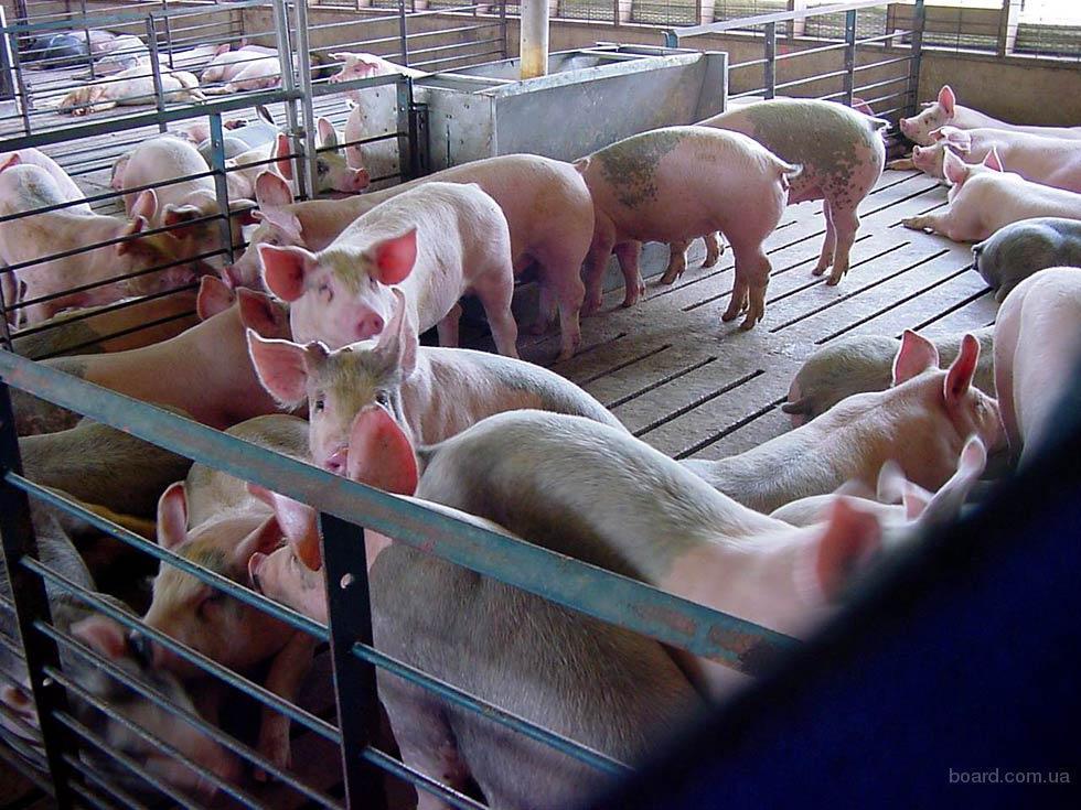 Свинина живым весом. Доставка бесплатно