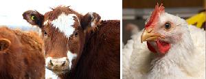 Аграрии Карачаево-Черкесии нарастили производство скота и птицы на убой
