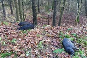 Ветнадзор Германии ищет хозяев павших домашних свиней