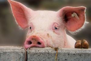 В Белгородской области ужесточают ввоз свиноводческой продукции с территории Украины из-за АЧС