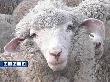 120 миллионов выделено Ставрополью на развитие овцеводства