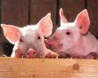 Нехаляльный экспорт. Как Казахстан развивает свиноводство