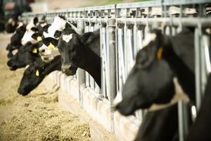 Эстонские фермеры вынуждены массово продавать коров в Польшу