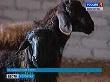 Камышинская потребкооперация развивает мясное овцеводство