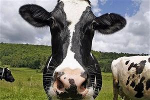 Алтайский край закупил племенных быков в Дании