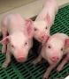 На рынках Ставрополья запрещена торговля свининой