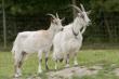 В Подмосковье на 2,4 % увеличилось поголовье коз