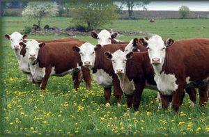 Китай накормит население клонированной говядиной
