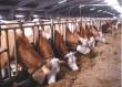 Брянск: Зимне-стойловое содержание скота под контролем