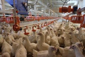Арбитраж в очередной раз продлил двухлетнее банкротство воронежской птицефабрики «Интерптица»