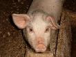 Африканская чума свиней подбирается все ближе к Смоленской области