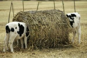 Селяне начали резать скот от бескормицы