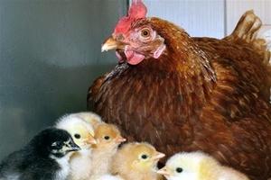 Производство птицы в Астраханской области увеличилось почти в 10 раз