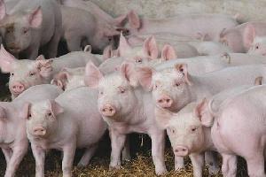 На заповедной территории чувашей в Белебеевском районе Башкирии власти решили построить свинокомплекс