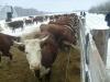 Киров: работники животноводческого комплекса «Селезениха» вышли на акцию протеста