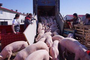 Представителей южноамериканской компании «Codrah» заинтересовала технология, применяемая на свинокомплексе «Агроэлита»