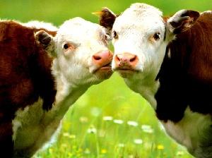 На Кубани планируют разводить высокопродуктивный крупный рогатый скот