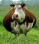 Омские коровы вновь пошли на рекорд