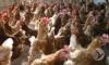 В Пензенской области птицефабрика «Заречная» открывается после реконструкции