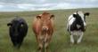 На Ставрополье выводят новые мясные породы КРС