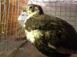 В Омске выставлен на продажу птицеводческий комплекс «Сибирский перепелЪ»