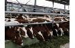 Правительство Московской области поможет развитию мясного животноводства