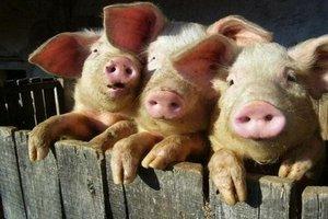 Алтайский край может существенно увеличить производство свинины за счет завершения двух проектов - губернатор