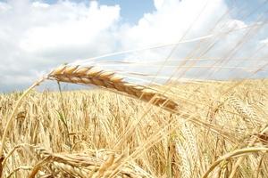 Минсельхоз готовит программу по увеличению экспорта зерна до 50 млн т - глава департамента