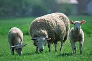 Первые овцы Иль-де-Франс прибыли в Беларусь