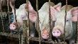 Около 30 тыс свиней уничтожат на Кубани из-за вспышки АЧС