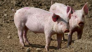 В Хабаровском крае ищут инвестора для свинофермы