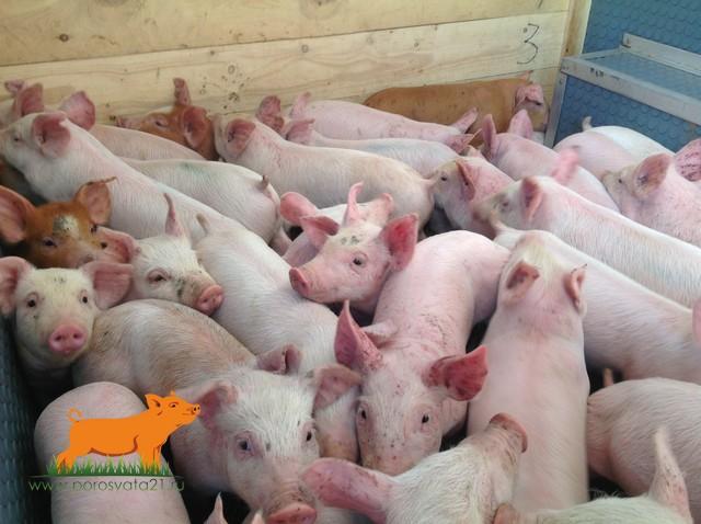 продам поросят мясо-сальной породы в Саратове