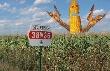 Кукуруза дает шанс отважным