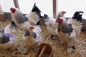 Голландские птицеводы в октябре отправятся в Уганду