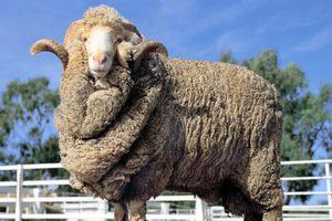 Кубанская делегация побывала на Всероссийском совещании по развитию овцеводства и козоводства