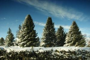 В Томске елки после Нового года пойдут на витамины для скота