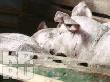 В Белгородской области частники не смогут разводить и продавать свиней