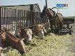 О состоянии животноводства в Тамбовской области